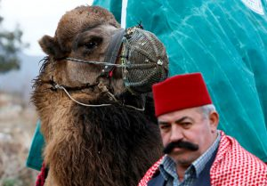 "IZMIR, TURKEY - JANUARY 15: A participant is seen with his camel during the 35th Selcuk Ephesus Camel Wrestling Festival in Izmir, Turkey on January 15, 2017. Despite the cold and rainy weather a big crowd came to watch the 35th Selcuk Ephesus Camel Wrestling Festival, where 104 camel brought from Aegean, Mediterranean and Marmara wrestled at so called ""center of camel wrestling"". Festival was organized by Selcuk Ephesus Symposium on Culture of Camel-Dealing and Camel Wrestling Organization Committee with the support of Selcuklu Municipality at Wrestling Field of Pamucak. Cem Oksuz / Anadolu Agency"
