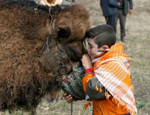 "IZMIR, TURKEY - JANUARY 15: Yalin Senturk, 13, strokes a camel during the 35th Selcuk Ephesus Camel Wrestling Festival in Izmir, Turkey on January 15, 2017. Despite the cold and rainy weather a big crowd came to watch the 35th Selcuk Ephesus Camel Wrestling Festival, where 104 camel brought from Aegean, Mediterranean and Marmara wrestled at so called ""center of camel wrestling"". Festival was organized by Selcuk Ephesus Symposium on Culture of Camel-Dealing and Camel Wrestling Organization Committee with the support of Selcuklu Municipality at Wrestling Field of Pamucak. Cem Oksuz / Anadolu Agency"