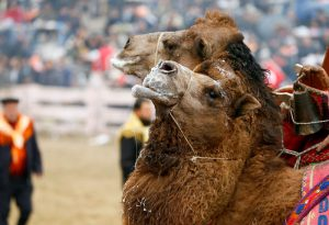 "IZMIR, TURKEY - JANUARY 15: Camels wrestle during the 35th Selcuk Ephesus Camel Wrestling Festival in Izmir, Turkey on January 15, 2017. Despite the cold and rainy weather a big crowd came to watch the 35th Selcuk Ephesus Camel Wrestling Festival, where 104 camel brought from Aegean, Mediterranean and Marmara wrestled at so called ""center of camel wrestling"". Festival was organized by Selcuk Ephesus Symposium on Culture of Camel-Dealing and Camel Wrestling Organization Committee with the support of Selcuklu Municipality at Wrestling Field of Pamucak. Cem Oksuz / Anadolu Agency"